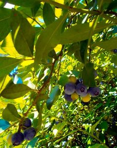 tennessee blueberries