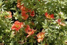 Heesterganzerik 'Red Ace'    De Potentilla fruticosa 'Red Ace' (Heesterganzerik 'Red Ace') wordt tot 60 cm. hoog. De Heesterganzerik 'Red Ace' bloeit in de zomermaanden van mei tot en met oktober uitbundig met rode bloemen. De Heesterganzerik 'Red Ace' heeft mooi, frisgroen blad.