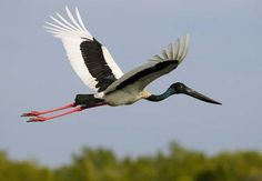 JABIRU or BLACK-NECKED STORK (Ephippiorhynchus asiaticus) -  the only stork found in Australia. Found in swamps, mudflats and mangroves. Feeds on fish, small crustaceans and amphibians. The nest is a large platform of sticks and other vegetation in a tall tree near water. Lays 2-4 eggs. Found along coastal and near-coastal areas of northern and eastern Australia.