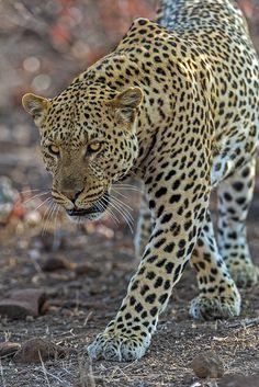 Leopard, Mashatu Game Reserve, Botswana. BelAfrique your personal travel planner - www.BelAfrique.com