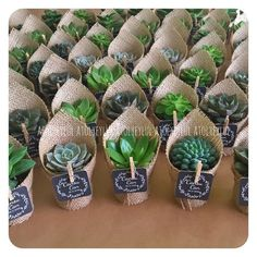 Best 11 Obsessed with this new succulent trend succiepotinapot Obsessed succiepotinapot Succulent trend SkillOfKing Com is part of Planting succulents - Succulent Wedding Favors, Cactus Wedding, Succulent Gifts, Succulent Gardening, Cacti And Succulents, Planting Succulents, Propagating Succulents, Wedding Doorgift, Wedding Flavors