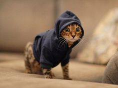 Cats in Hoodies – 17 Funny Pics