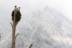 Actuellement, le nombre de pandas géants à l'état naturel en Chine est estimé à 1 600 ...