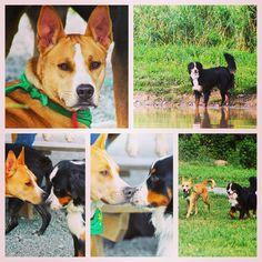 Jansen (tan gent available for adoption through @badassbkrescue) & Kona saw each other from afar. Jansen mustered up the bravery to sniff hello & a furever friendship was born! #evasplaypupspa #doggievacays #dogdaysofsummer #dogsofinstagram #adoptdontshop #endlessmountains #mountpleasant