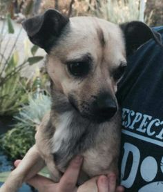 Toby is a social 3-year-old Chihuahua mix who weighs eight pounds. He gets along well with other dogs. No cats. The $175 adoption fee helps cover spay/neuter, vaccinations, microchip, vetting, food/care and 30 days of health insurance. Call Pets Without Partners at 243-6911. Go to www.petswithoutpartners.org. Go to www.redding.com to search for more adoptable Pets of the Week.