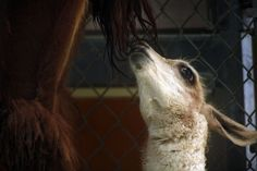 girl: Dallas Zoo reveals baby hippo's name, a tribute to her father Baby Llama, Baby Hippo, Dallas Zoo, Dallas Texas, Fort Worth Zoo, Dallas Morning News, Baby Boom, Horses, Animals