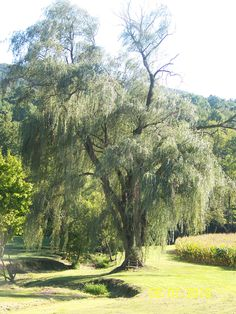 Weeping Willow Trees...In A Perfect Life, This Most Beautiful Of Trees Could Be Seen From Almost Every Window!!  I So Miss The One In Our Old Home's Front Yard...Heaven!!