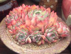 Etli Bitki ile ilgili görsel sonucu #Flora&Fauna-Flowers&Plants