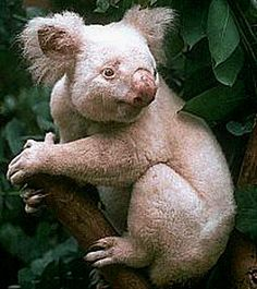 Albino Koala  The Koala is a thickset arboreal marsupial herbivore native to Australia, and the only extant representative of the family Phascolarctidae, found in coastal regions of eastern and southern Australia, from near Adelaide to the southern part of Cape York Peninsula, but are not found in Tasmania or Western Australia.