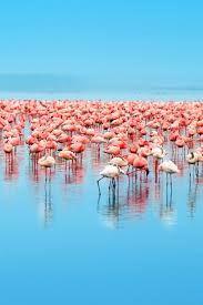 """Képtalálat a következőre: """"flamingos"""""""