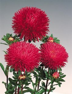 100pcs Rare Flower Seeds Aster Andrella Seeds Callistephus Chinensis China Aster