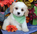 www.cavachonsbydesign.com Cavachon puppies for sale, Cavachon, Cavachons, Cavachon dog, Cavachon pups, Cavachon pup, Cavachons dogs for sale, Cavachon puppies, Cavachons for sale, Cavachon breeder, Cavachon breeders, Bichon, Cavachon Puppies, Dogs For Sale, Puppy Love, Cute Animals, Funny, Design, Pretty Animals, Cutest Animals