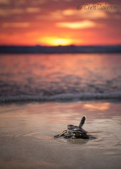 Baby green turtles make their way to the ocean for the first time at baby green turtles make their way to the ocean for the first time at sunset indonesia life on earth pinterest more green turtle and beautiful publicscrutiny Image collections