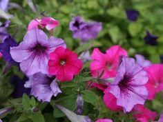 Yksivuotiset petuniat sopivat parvekkeelle, amppeliin tai pihan kukkaistutuksiin. Lajikkeita on paljon ja värivalikoimakin on runsas.