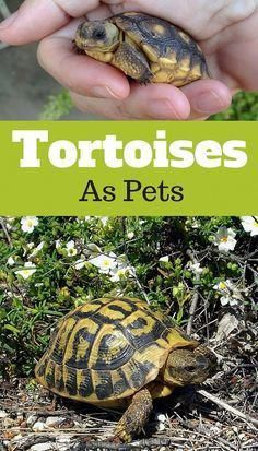 Russian Tortoise Diet Guide / Helpful Tips And Tricks Tortoise As Pets, Tortoise Food, Tortoise Habitat, Baby Tortoise, Sulcata Tortoise, Russian Tortoise Care, Tortoise Table, Desert Tortoise Diet, Tortoise Aquarium
