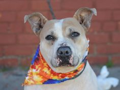 SAFE 6-16-2015 by Red Hook Dog Rescue --- Brooklyn Center RAVIOLI – A1034477 FEMALE, WHITE / TAN, AMERICAN STAFF MIX, 4 yrs OWNER SUR – STRAY WAIT, NO HOLD Reason STRAY Intake condition EXAM REQ Intake Date 04/27/2015