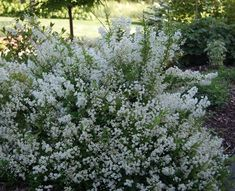 www.bambooplants.ca wp-content uploads 2016 06 Deutzia_gracilis_habit.jpg