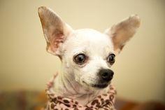 Lola the cute chihuahua