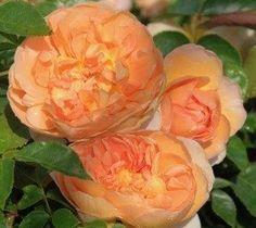 Pat Austin (Ausmum) Wisteria, Iris, Flowers, Plant, Bearded Iris, Irises