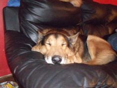 Winston (Whinny to all who loved him) our beloved German Shepherd. 11/11/11 One of the loves of my life, happy that I was blessed with him! :)