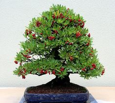 RK:Bonsai Collection | Flickr - Photo Sharing!