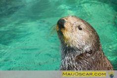 Seattle Aquarium: Um aquário especializado nas águas geladas do pacífico    #Seattle #Aquarium #Otters #Animals #Aquário #Animais #Lontras