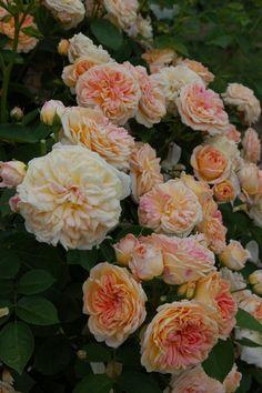 ~Tea Noisette Rose: Rosa 'Gloire de Dijon' (France, 1850)