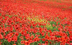 Amsterdam field of poppies