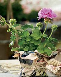 Butterfly. Pelargonium x hortorum. Kotipelargonit eli vyöhykepelargonit ovat yleisin pelargoniryhmä   Tunne pelargonit   Koti ja puutarha