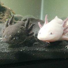 Aguamigos Texas | Caring for Axolotls