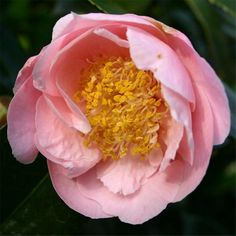 Camelia Hanaguki It's easy to find what you're looking for with our Plant A-Z, covering everything from Cornish plants to sub-tropical specimens that love mild climates.