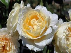 Irish Hope ® Harexclaim ® Englische Rose Irish, Flowers, Plants, English Roses, Garden Centre, Irish Language, Plant, Ireland, Royal Icing Flowers