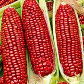 This delicious sweet corn looks fantastic with its long red flasks and delicious to eat! If the plant is young and once is ripe can be made of corn flour. The corn kernels are cooked for a meal. Healthy Fruits And Vegetables, Fruit And Veg, Fruit Plants, Fruit Trees, Rainbow Corn, Colored Corn, Organic Popcorn, Popcorn Seeds, Seeds For Sale