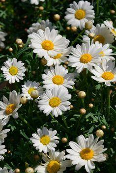 Fondos de Pantalla – Celu Celu Daisy Wallpaper, Kawaii Wallpaper, June Flower, My Flower, White Flowers, Beautiful Flowers, Hollyhocks Flowers, Sunflowers And Daisies, Daisy Love