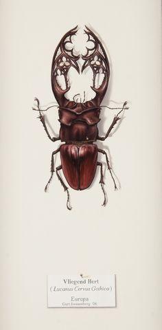 Vliegend Hert (Lucanus Cervus Gothica)