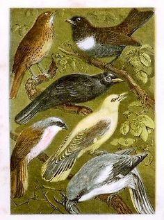 "BIRDS - ""Natural History"" - 1869 - ORIOLE & SHRIKE"