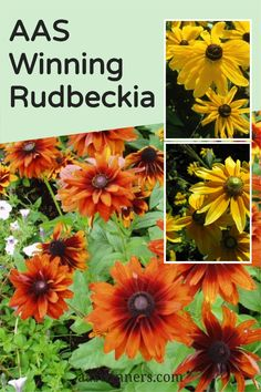 Looking for the perfect easy to grow flower that won't quick all summer long? Then both beginning and experienced gardeners will want to grow these AAS Winners! Balcony Flowers, Natural Ecosystem, Low Maintenance Plants, Habitats, Beautiful Flowers, The Selection, Creatures, Birds, America