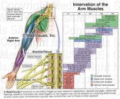 Brachial Plexus muscle innervations.