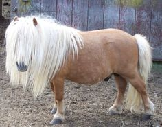Паломино, Лошади, Мини Лошади, Шетландские Пони, Животные, Красивые Лошади, Животные