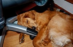 Anything to be close to you...  #Golden #Retriever