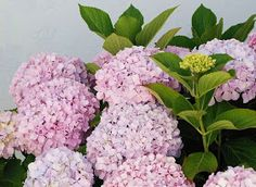kinds of ornamental plants: HYDRANGEA - Popular ornamental plants