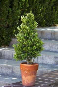 little ollie - dwarf olive tree - good in pots, drought tolerant, full sun, easy to shape. For back yard pots Outdoor Plants, Outdoor Gardens, Outdoor Spaces, Large Outdoor Planters, Backyard Plants, Outdoor Ideas, Dwarf Olive Tree, Rain Garden Design, Full Sun Plants
