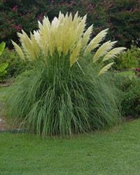 Dwarf Pampas - Fall bloomer....but an annual in zone 6, so dont be fooled by what the nurseries say!