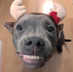 :) Christmas Pittie Wins! #pitbull