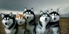 TIM FLACH - GODS DOGS |  A team of Siberian huskies in Iceland. Huskies are so competitive that they will resist arranging themselves in a line: there is no clear pecking order. To hold them in position for this photograph, their owner is lying behind them, out of shot, keeping them in place with leashes.