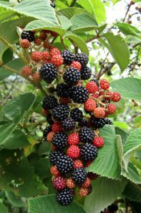Learn how to care for blackberry plants! I'm going to need this, my plant is starting to show berries! Fruit Garden, Edible Garden, Vegetable Garden, Garden Plants, Thornless Blackberries, Growing Blackberries, Blackberry Plants, Blackberry Bush, Organic Gardening