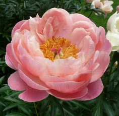 Coral Charm Peony by jeannes1234, via Flickr