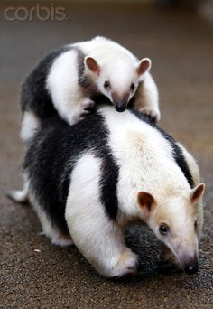 Southern Tamandua, also known as collared anteater, lives in the rain forests of Central and South America, and its diet consists of ants, termites and bees.