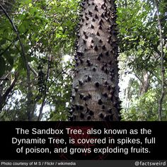 Weird Facts, The Sandbox Tree, also known as the Dynamite Tree,. Wow Facts, Wtf Fun Facts, Random Facts, Random Stuff, Funny Relatable Memes, Funny Jokes, Unusual Facts, Interesting Facts, Fascinating Facts