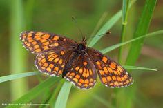 Bosparelmoervlinder Cute Butterfly, Animals, Animales, Animaux, Animal, Animais